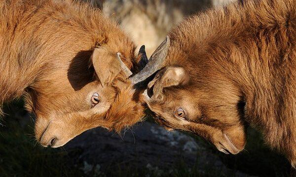 goats-692660_640